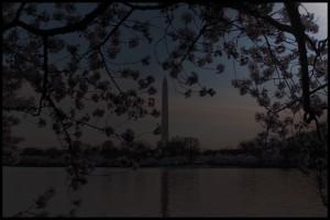 Cherry Blossoms - Dark